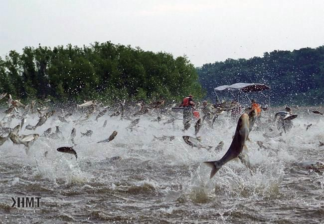 Illinois River silver carp jump out of the water after being disturbed by sounds of watercraft. (Courtesy photo)